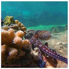 Hawaiian Tako (Octopus)