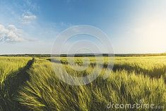 Landscape is a wheat field at sunset, countryside in Ukraine