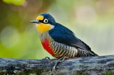 Yellow-fronted Woodpecker (Melanerpes flavifrons)