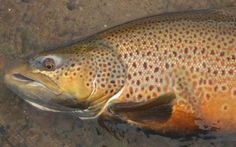 STEELHEAD AND BROWN TROUT: COVERING WATER THE MOST IMPORTANT FACTOR [PART 2]