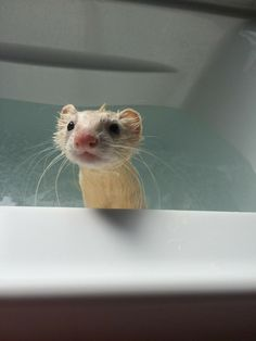 When your color lasted as long as your tinder date - Ferrets - Animals Baby Ferrets, Pet Ferret, Cute Ferrets, Ferret Cage, Cute Creatures, Beautiful Creatures, Animals Beautiful, Cute Little Animals, Cute Funny Animals