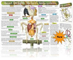 AVIAN ANATOMY CHART  -  With concise descriptions of body layouts and systems, the Bird Anatomy Chart is a vital learning tool for those who are looking for quick and easy ways of assimilating information about avian anatomy and physiology; veterinary technicians, students of veterinary nursing and animal care as well as pet owners wanting to take a more proactive roll in their companion animal's home healthcare will find the chart particularly invaluable.