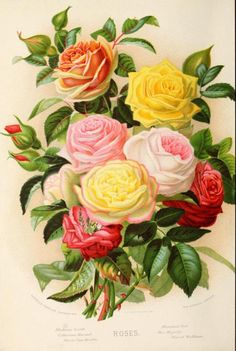 Roses (Madame Levet, Catherine Mermet, Marie Van Houtte, Marshall Niel, Her Majesty, Star of Waltham).  Frontispiece illustration 'Cassell's Popular Gardening.' Edited by D. T. Fish.  Published 1885 by Cassell & Co Ltd.  The Library of...