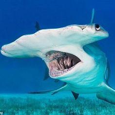 Requin marteau - Hammerhead shark by oceansharks Underwater Creatures, Underwater Life, Orcas, Fauna Marina, Shark Photos, Deep Sea Creatures, Hammerhead Shark, Water Animals, Shark Week