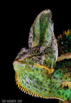 Veiled Chameleon (Chamaleo calyptratus) por  Thor Håkonsen