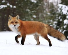 Red Fox by Megan Lorenz on Red Pictures, Animal Pictures, Algonquin Park, Fox Art, Wild Dogs, Red Fox, Pet Birds, Mammals, Deer
