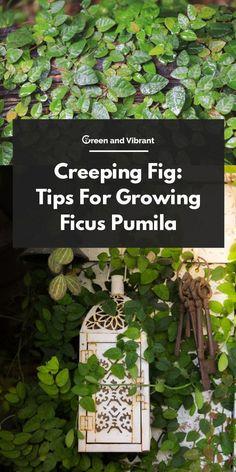 PLAT FIRM-Seeds New Home Garden Plant 20 Seeds Genuine Climbing Fig Ficus Pumila Creeping Fig Seeds