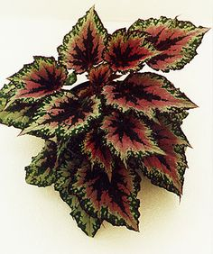 Rex Begonia, Strawbery Begonia, Watermelon Begonia
