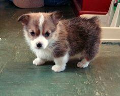 corgi puppies make me cry <3333333