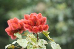 Bixa orellana (Lipstick tree) Family:Bixaceae
