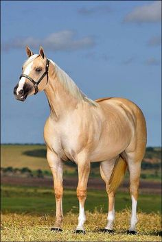 Palomino Quarter Horse by shari - Horse - Horse Beautiful Horse Pictures, Most Beautiful Horses, All The Pretty Horses, Animals Beautiful, Cute Horses, Horse Love, American Quarter Horse, Quarter Horses, All About Horses