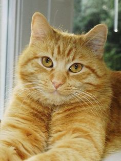 Orange And White Cat, White Cats, Yellow Cat, Pretty Cats, Beautiful Cats, Ugly Cat, Amor Animal, Orange Tabby Cats, Photo Chat