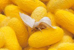 Silk Moth makes silk with its salivary glands.