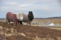 Pony sweaters: All the rage in the Shetland Islands of Scotland. Shetland pony ambassadors Fivla and Vitamin model handmade wool sweaters knitted by local Shetlander Doreen Brown Funny Animals, Cute Animals, Nature Sauvage, Amor Animal, Epic Photos, Art Design, Animal Kingdom, Creatures, Shetland Ponies