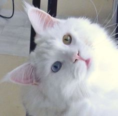 chat-mignon-yeux-vairons