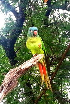 Blue_crowned Conure
