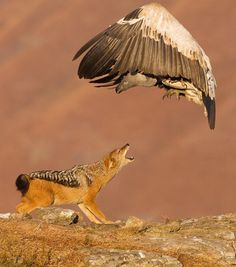 A giant vulture and a hungry jackal fight over a pile of bones. Photographer Stephen Earle snapped the scene from a hide as the two animals battled at Giant's Castle Game Reserve in Kwazulu Natal… Wild Life, Beautiful Birds, Animals Beautiful, Cute Animals, Wild Animals, Nature Animals, Wildlife Photography, Animal Photography, Black Backed Jackal