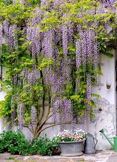 Wisteria one trellis. Would like this going up and around the front door and hanging down over the Juliette balcony Wisteria one trellis. Would like this going up and around the front door and hanging down over the Juliette balcony Vertical Gardens, Back Gardens, Outdoor Gardens, Outdoor Sheds, The Secret Garden, Pergola Diy, Climbing Vines, Wall Climbing Plants, Garden Cottage