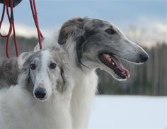 The Borzoi - one of the most beautiful dogs you can ever lay eyes on. Like a greyhound, but larger and longer and more feathery fur. Absolutely gorgeous.