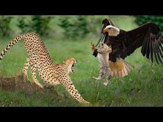 Big Mistake Eagle Provoked Baby Leopard And The Unexpected Cheetah Cubs, Baby Leopard, Eagle Pictures, Bird Pictures, Baby Animals, Funny Animals, Cute Animals, Eagle Hunting, Wild Animals Videos