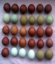 Araucana eggs and Cuckoo maran eggs.  I have both of these chicken breeds.  Their eggs are gorgeous.