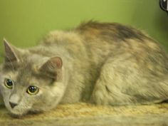 Meet AUTUMN, an adoptable Domestic Short Hair looking for a forever home. Cat • Domestic Short Hair • Young • Female • Small  Randolph County Animal Shelter Randleman, NC ** Autumn is a sweet, calm kitty, laid back, but still enjoys to play. She's litter box trained, dewormed, up to date on all shots, but she's not spayed at this time. Autumn is ready and waiting for her fur-ever home.
