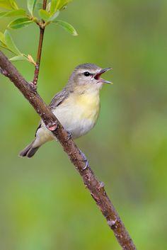 Philadelphia Vireo (Vireo philadelphicus) The Philadelphia vireo is a small North American songbird in the vireo family
