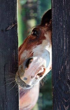 Hi there! Horse peeking from behind the fence. #horse http://www.islandcowgirl.com/