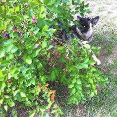 Slipping in beneath the branches to snag a luscious blueberry.