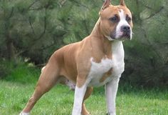 American Staffordshire Terrier- such proud dogs! American Staffordshire, Staffordshire Bull Terrier, Pitbull Terrier, Terrier Dog Breeds, Airedale Terrier, Fox Terrier, Best Guard Dog Breeds, Pitbull Facts, Pitbulls