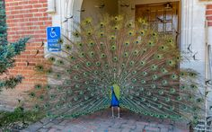 Peacock at the City of 10,000 Buddhas
