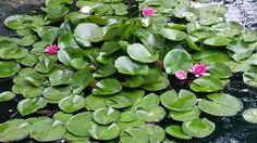 Best blooms ever summer 2014 Lakeridge gardens adrian mi