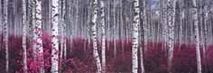 Silver Birch Forest, China Prints at AllPosters.com