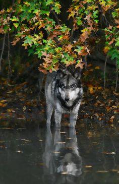 river bank wolf Hybrid ?