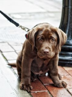 chocolate lab baby