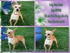 Please share sweet Ralph in Irving TX. Help him find his forever home!
