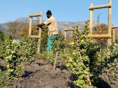 The City of Cape Town unveiled the Dutch-period Vereenigde Oost-Indische Company (VOC) vegetable and herb garden in the Company's Garden. Herb Garden, Vegetable Garden, Medicinal Herbs, Great Videos, Fruit Trees, Vegetables, City, Plants, Indian