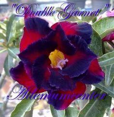 "ADENIUM OBESUM DESERT ROSE "" DOUBLE GARNET """