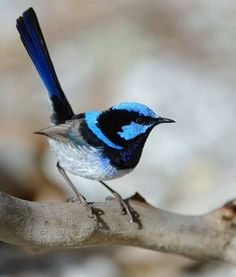 The Blue Wren of Australia.