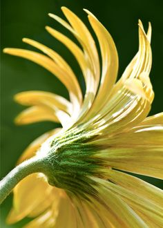 Cindy Dyer photo of yellow flower's backside