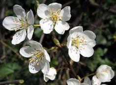Blackthorn flowers