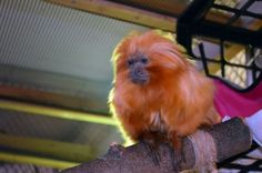 Akron Zoo monkey has cataract surgery, considered a first for such a small animal
