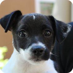 Walnut Creek, CA - Jack Russell Terrier Mix. Meet Cyclone a Puppy for Adoption.