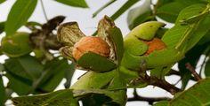 Skořápky, slupky (oplodí) i listy ořechů většina lidí vyhazuje, což je škoda. Lze je totiž využít k přípravě léčivých odvarů.