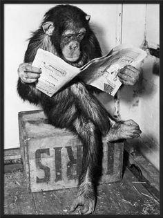 13 Best Apes Smoking images | Chimpanzee, Smoke, Smoking
