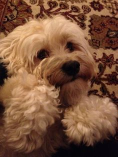 We love our Havanese!!!! They are soooo sweet!!! this one looks just like our havanese, Elsa!!