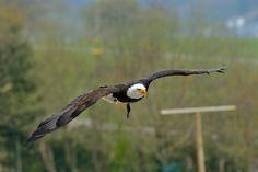 Park, Birds In Flight, Bald Eagle, Explore, Animals, Animales, Flying Birds, Animaux, Parks