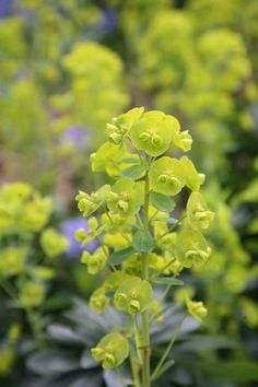 CAUTION toxic if eaten/skin & eye irritant | Wood spurge Euphorbia amygdaloides 'var. robbiae': Delivery by Crocus.co.uk