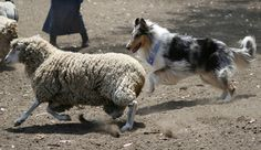 Herding by mvagustaago on Flickr. Scotch Collie, Livestock, Goats, Animals, Animales, Animaux, Animal, Animais, Goat