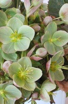 Hellebores by Marian McEvoy, wsj: Sometimes known as 'Christmas Rose' or 'Lenten Rose', these elegant, shade loving perennials which are long lasting and low maintenance are captivating stars of early spring gardens. Beautiful Flowers, Shade Loving Perennials, Plants, Planting Flowers, Perennials, Pretty Flowers, Lenten Rose, Shade Plants, Green Flowers